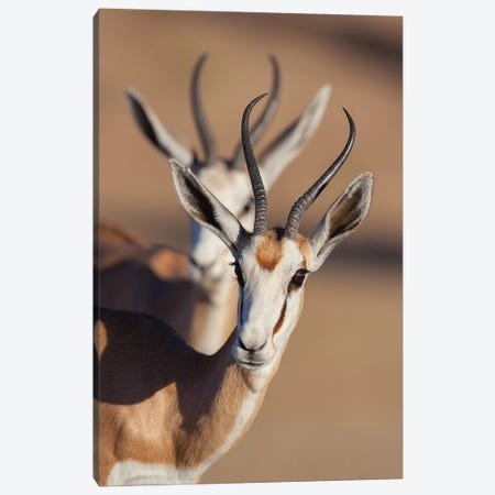 Springbok Synchronicity Canvas Print #MOG113} by Mogens Trolle Canvas Print