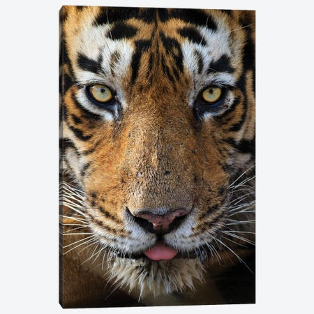 Tiger Eye Contact Canvas Print #MOG115} by Mogens Trolle Canvas Artwork