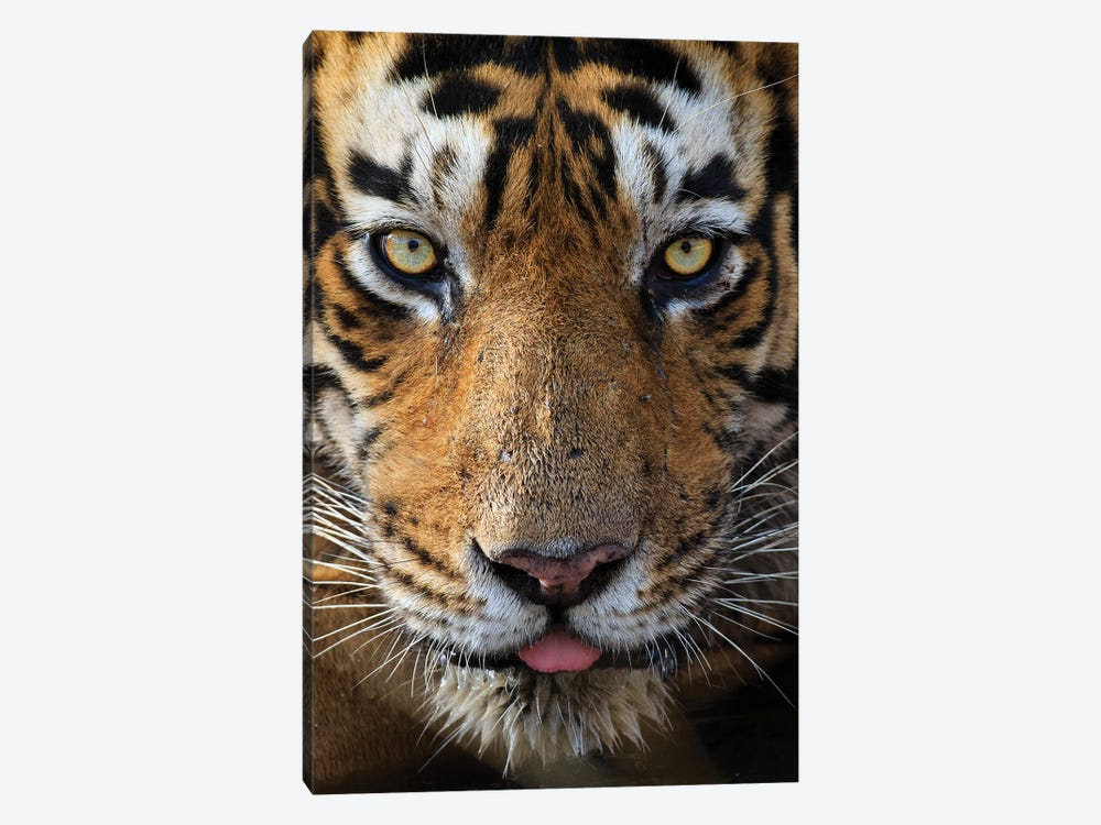 Tiger Eye Contact by Mogens Trolle 1-piece Art Print