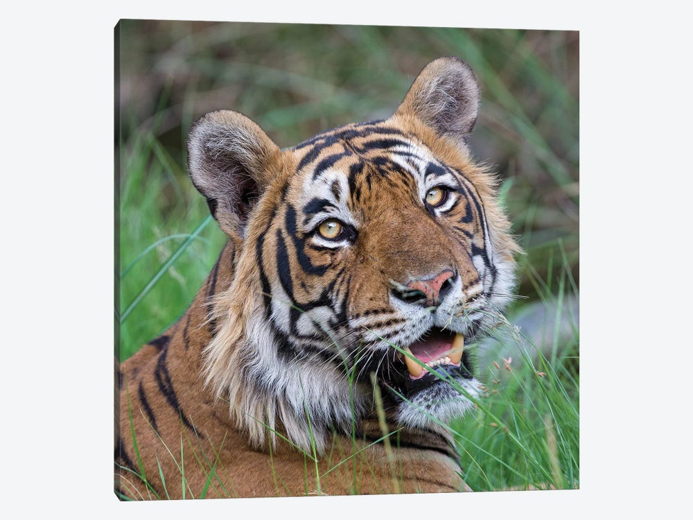 Tiger Male Portrait by Mogens Trolle 1-piece Canvas Art