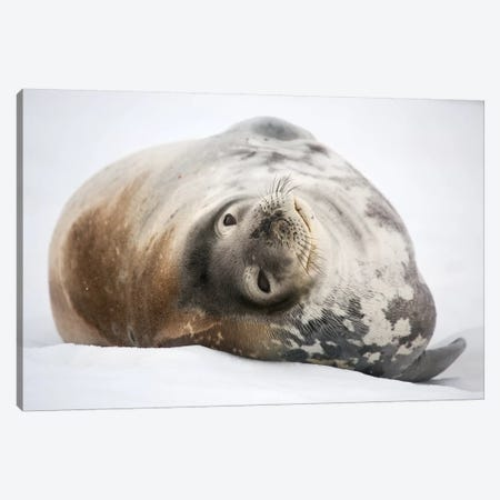 Weddell Seal Antarctica Canvas Print #MOG119} by Mogens Trolle Art Print