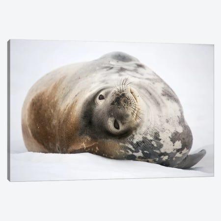Weddell Seal Antarctica Canvas Print #MOG119} by Mogens Trolle Art Print