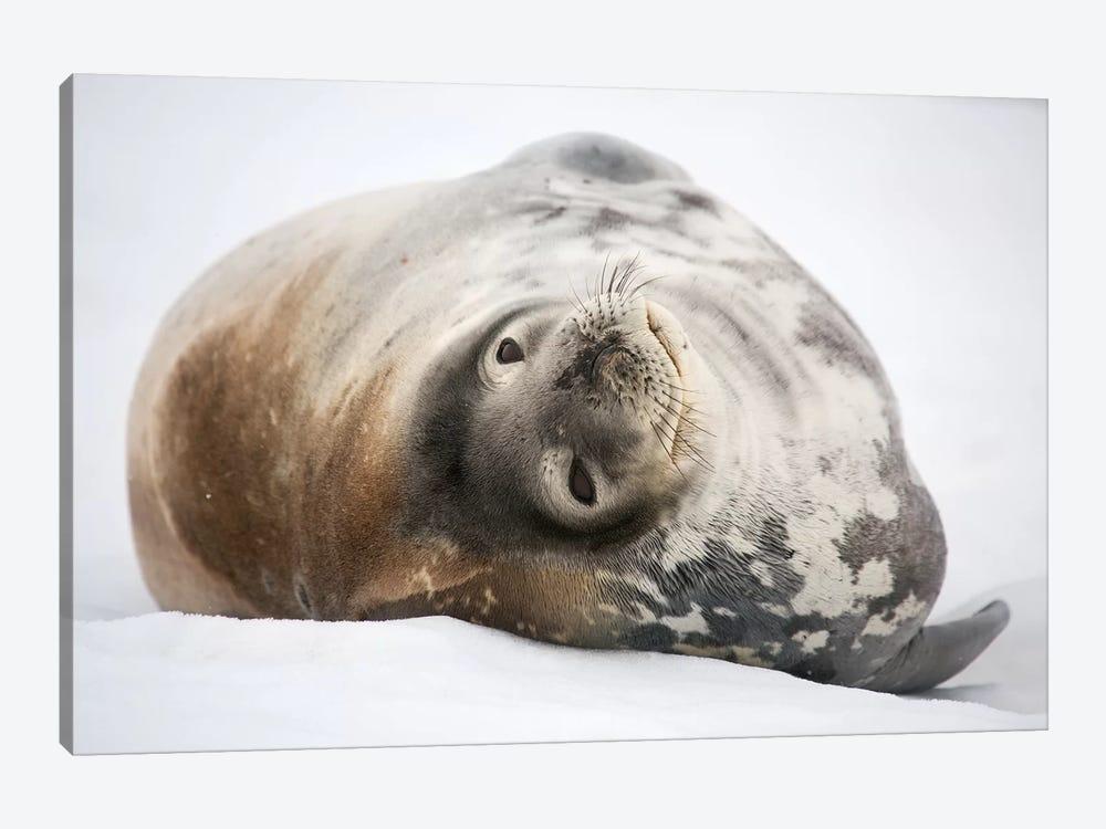 Weddell Seal Antarctica by Mogens Trolle 1-piece Art Print