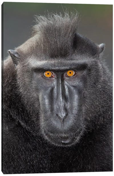 Black Crested Macaque Alpha Eye Contact Canvas Art Print