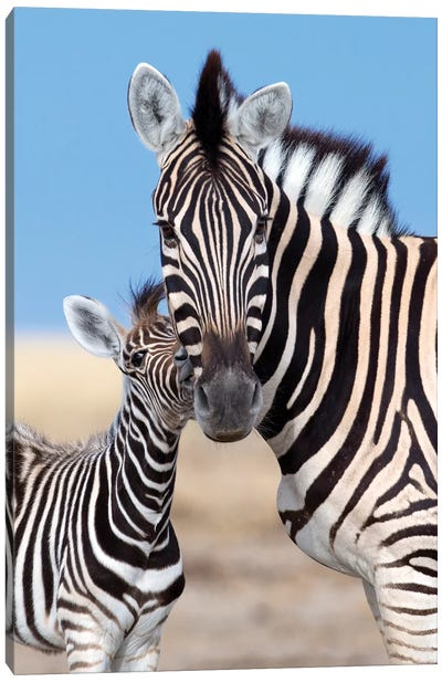 Zebra Mother And Foal Canvas Art Print