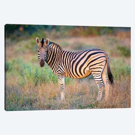 Zebra Stallion Kruger Canvas Print #MOG125} by Mogens Trolle Art Print