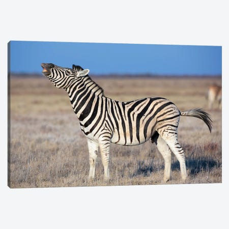 Zebra Stallion Smelling The Air Canvas Print #MOG126} by Mogens Trolle Art Print