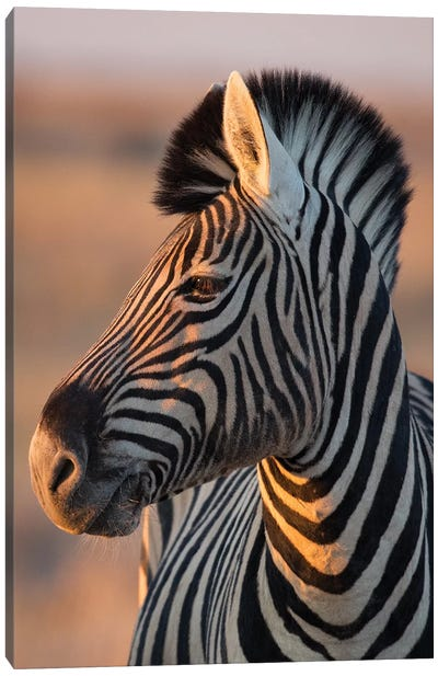 Zebra Stallion Sunset Light Canvas Art Print