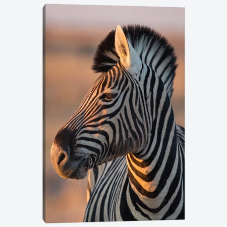 Zebra Stallion Sunset Light Canvas Print #MOG127} by Mogens Trolle Canvas Art Print
