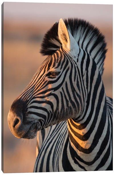 Zebra Stallion Sunset Light Canvas Art Print