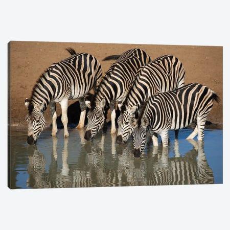 Zebras Drinking Canvas Print #MOG128} by Mogens Trolle Canvas Wall Art