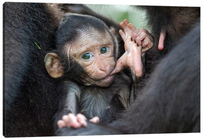Black Crested Macaque Baby Sucking Toe Canvas Art Print