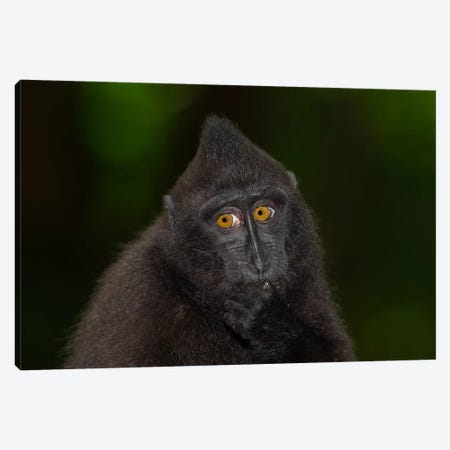 Black Crested Macaque Youngster Canvas Print #MOG13} by Mogens Trolle Canvas Wall Art