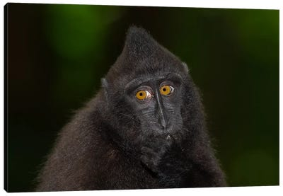Black Crested Macaque Youngster Canvas Art Print