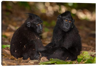 Black Crested Macaque Youngsters Holding Hands Canvas Art Print