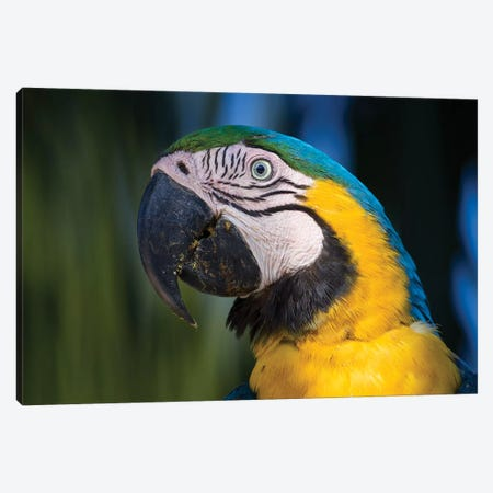 Blue And Yellow Macaw Pantanal Canvas Print #MOG15} by Mogens Trolle Canvas Art Print