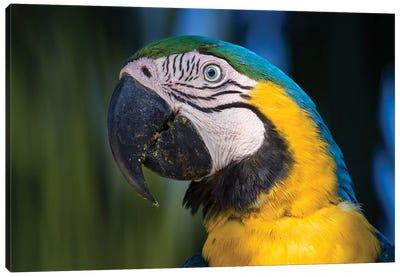 Blue And Yellow Macaw Pantanal Canvas Art Print