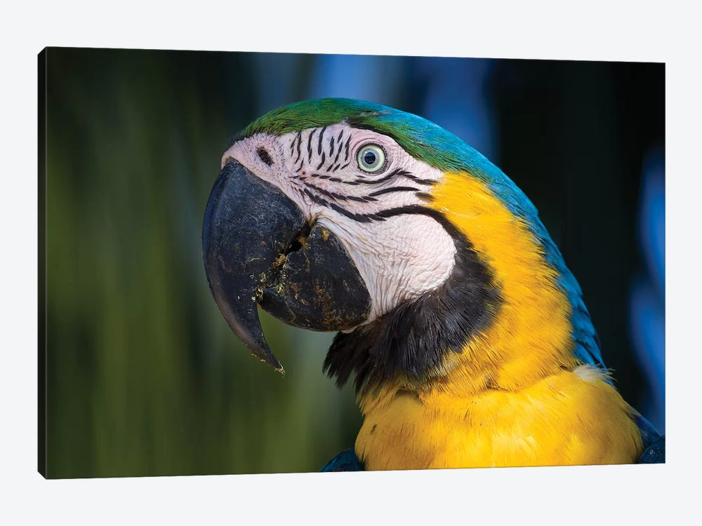 Blue And Yellow Macaw Pantanal by Mogens Trolle 1-piece Canvas Art Print