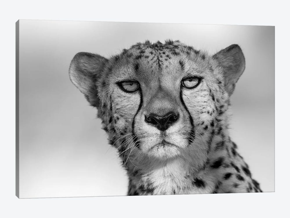 Cheetah Eye Contact by Mogens Trolle 1-piece Art Print