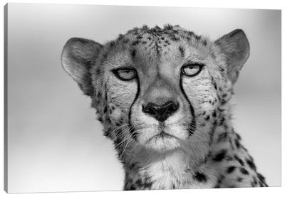 Cheetah Eye Contact Canvas Art Print
