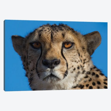 Cheetah On Blue Sky Namibia Canvas Print #MOG19} by Mogens Trolle Canvas Art