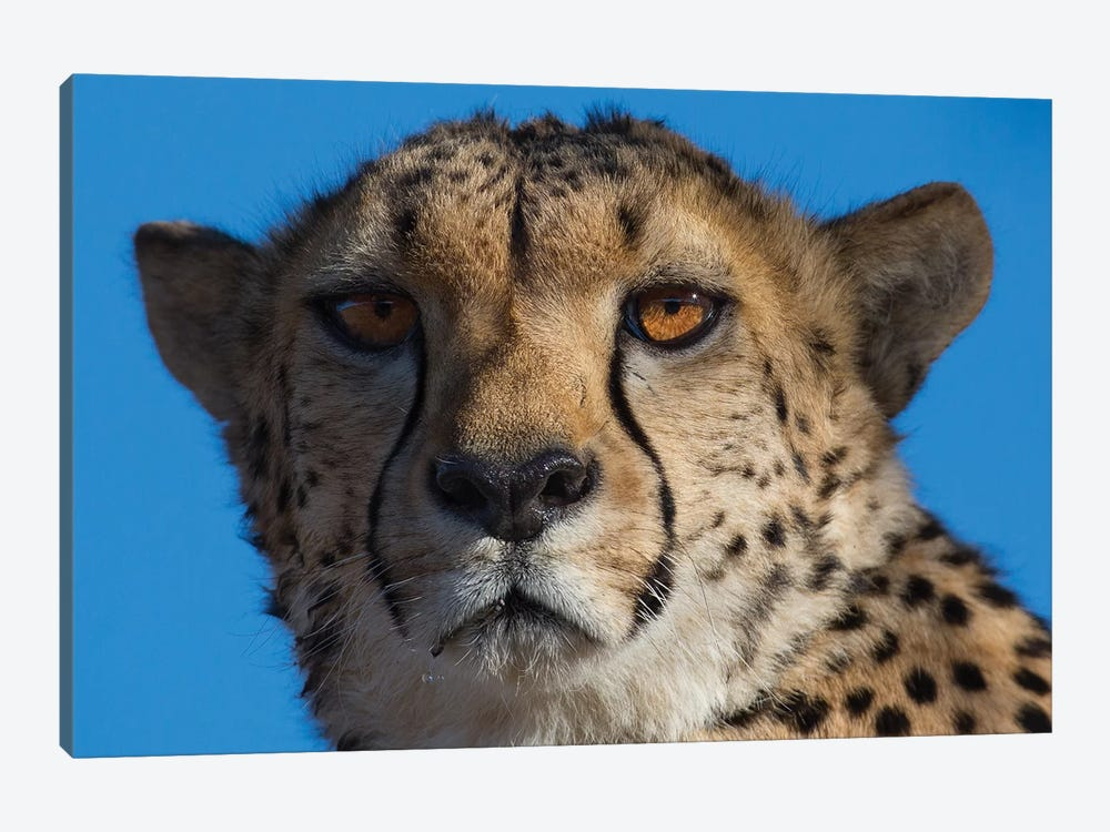 Cheetah On Blue Sky Namibia by Mogens Trolle 1-piece Canvas Print