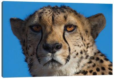 Cheetah On Blue Sky Namibia Canvas Art Print