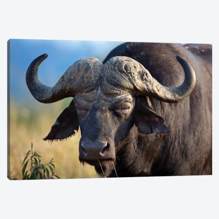 African Buffalo Morning Grumpy Canvas Print #MOG1} by Mogens Trolle Canvas Art
