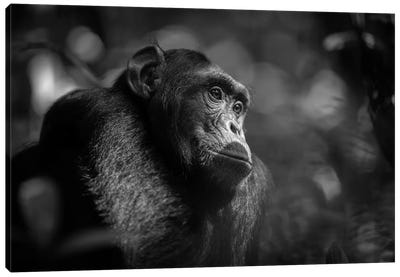 Chimpanzee Black And White Canvas Art Print