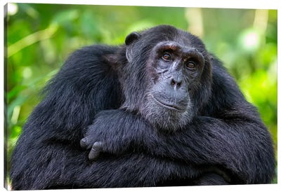 Chimpanzee Crossed Arms Uganda Canvas Art Print