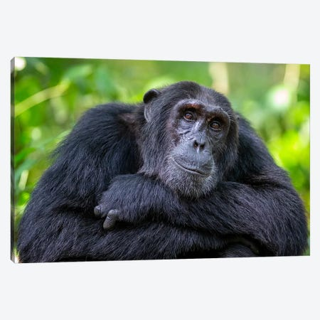 Chimpanzee Crossed Arms Uganda Canvas Print #MOG21} by Mogens Trolle Canvas Print