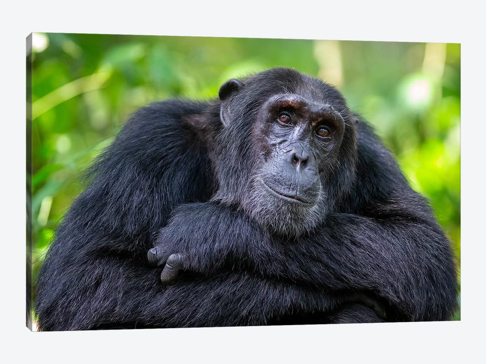 Chimpanzee Crossed Arms Uganda by Mogens Trolle 1-piece Canvas Artwork