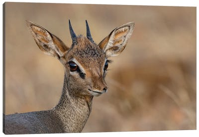 Dikdik Kenya Canvas Art Print