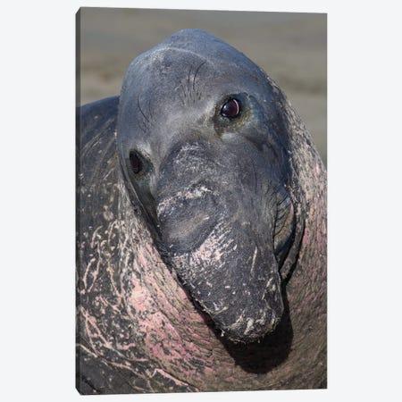 Elephant Seal California Canvas Print #MOG28} by Mogens Trolle Art Print