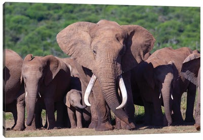 Elephant Tusker Canvas Art Print