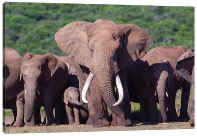 Elephant Tusker Canvas Art Print