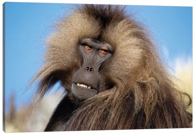 Gelada Against Blue Sky Ethiopia Canvas Art Print