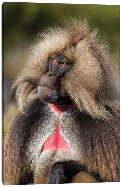 Gelada Bleeding Heart Alpha Male Canvas Art Print