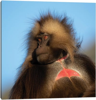Gelada Bleeding Heart Ethiopia Canvas Art Print