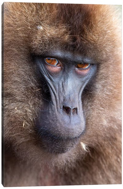 Gelada Female Scowl Ethiopia Canvas Art Print