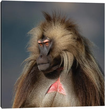 Gelada On Dark Background Ethiopia Canvas Art Print