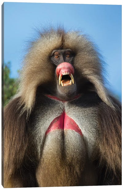 Gelada Pink Threat Ethiopia Canvas Art Print