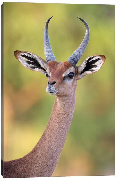 Gerenuk Male Portrait Kenya Canvas Art Print