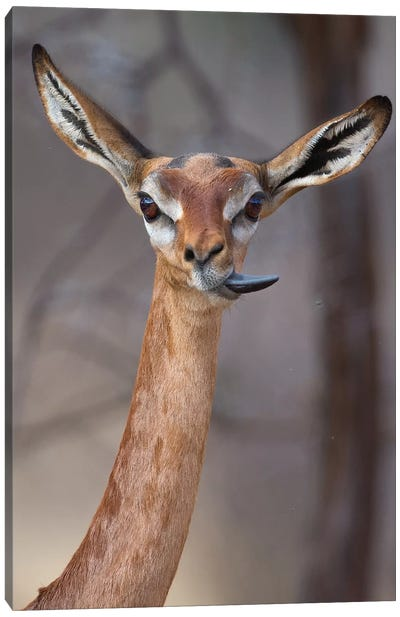 Gerenuk Tongue Twister Canvas Art Print