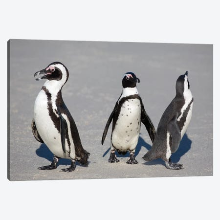 African Penguin Trio Canvas Print #MOG3} by Mogens Trolle Canvas Art