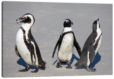 African Penguin Trio Canvas Art Print
