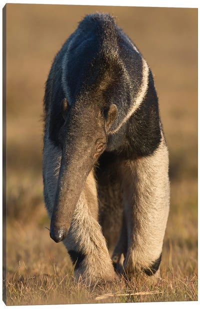 Giant Anteater Pantanal Canvas Art Print