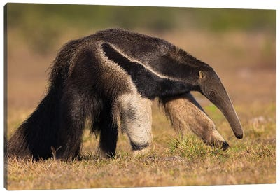 Giant Anteater Profile Canvas Art Print