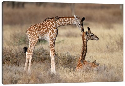 Giraffe Babies Greeting Canvas Art Print