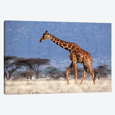 Giraffe Reticulated Male Kenya Canvas Print #MOG43} by Mogens Trolle Canvas Print